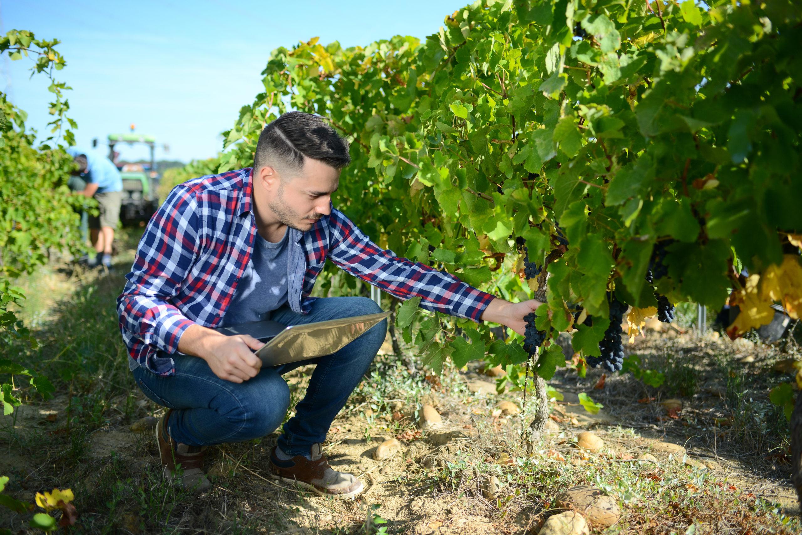 homem-fazendeiro-olhando-para-colheita-de-vinho